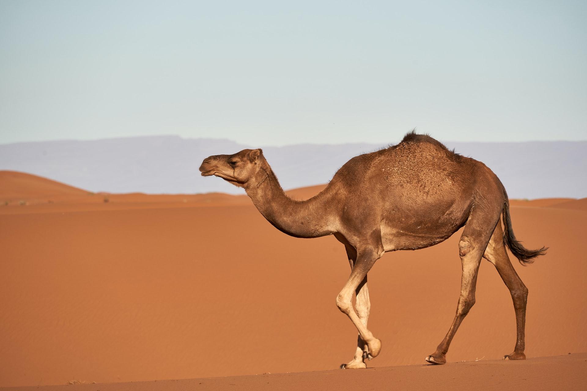 A beautiful camel in a beautiful desert.
